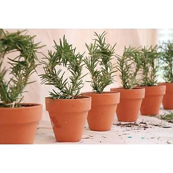 Biberiye Fidaný 20-30 Cm Rosmarinus Officinalis 10 Adet