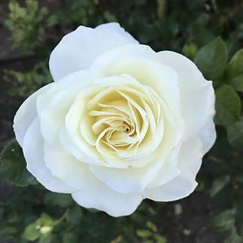 Beyaz Yediveren Gül Fidaný 1 Adet 15-25 Cm