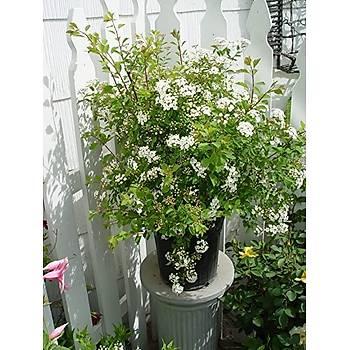 Spiraea vanhouttei / Beyaz Çiçekli Keçi Sakalý / 60-80 cm.