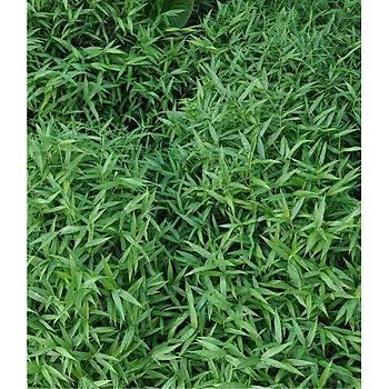 Bambusa nana 'shiyanus' / Bodur Bambu (Küçük Yapraklý) / 60-80 cm.