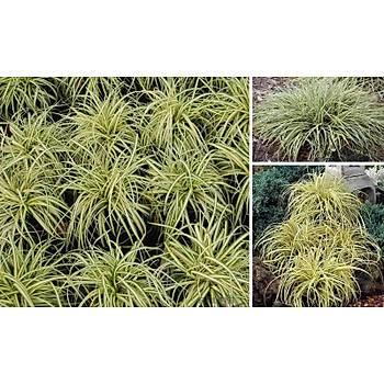 Carex oshimensis 'Evergold '