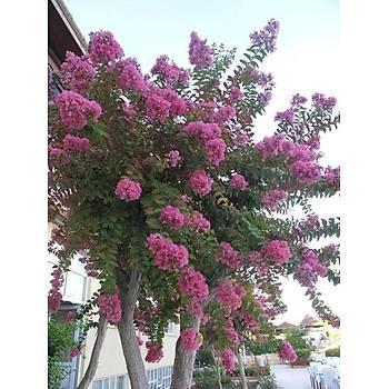 Lagestromia indica / Pembe Çiçekli Çalý Oya / 80-100 cm.