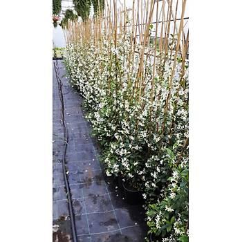 Rhyncospermum jasminoides / Arap Yasemini / 200 - 250  cm.