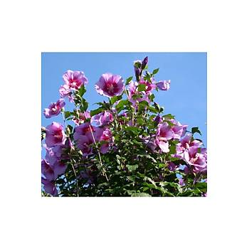Hibiscus syriacus / Aðaç Hatmi / Pembe ve Mor Çiçekli / 60-80 cm.