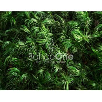 Mumyalanmýþ Province Moss - 1 adet