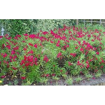 Nerium oleander Nana / BODUR ZAKKUM