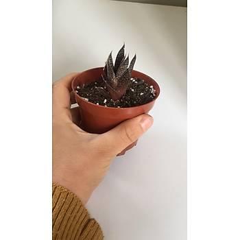 Aloe aristata / 9 cm. lik saksýda / Sukulent