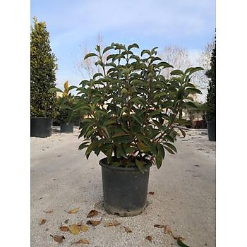 Viburnum lucidum / Parlak Yapraklý Kartopu / 90-100 cm.