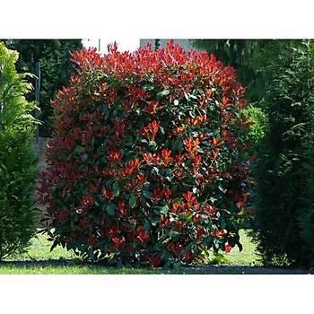 Photinia fraseri Little Red Nana / Bodur Alev Çalýsý / 20-40 cm.