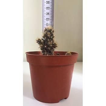Mammillaria prolifera / Kaktüs / 9 cm lik saksýda