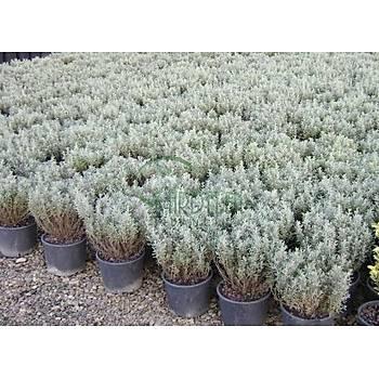 Santolina chamaecyparissus / Lavantin / 20-30 cm.