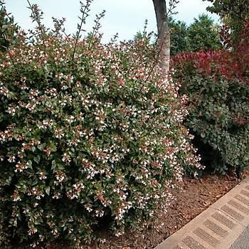 Abelia floribunda / Güzellik Çalýsý
