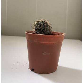 Mammillaria spinosissima ssp. pilcayensis