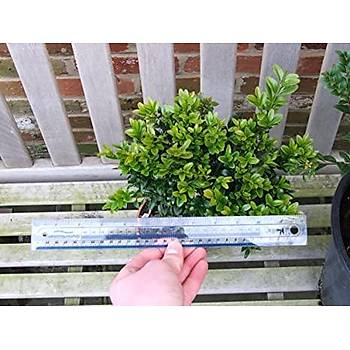 Buxus sempervirens / ADÝ ÞÝMÞÝR / 20-40 cm. Küçük