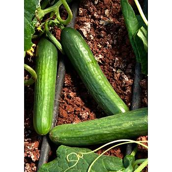 Salatalýk Tohumu - Beith Alpha - Farklý Gramajlarda