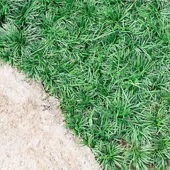 Ophiopogon japonicus / Osmanlý Çimi