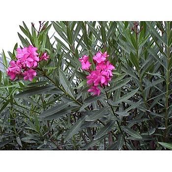 Nerium oleander / ZAKKUM / 80-100 cm.