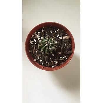 Echinopsis oxygona / 9 cm. Saksýda / Kaktüs