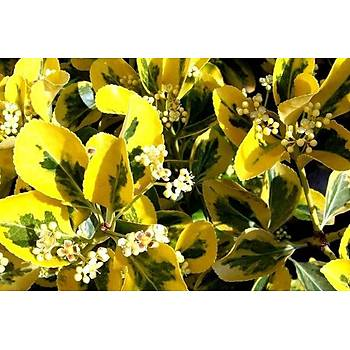 Euonymus fortunei 'Emerald' n Gold' / Gold Taflan