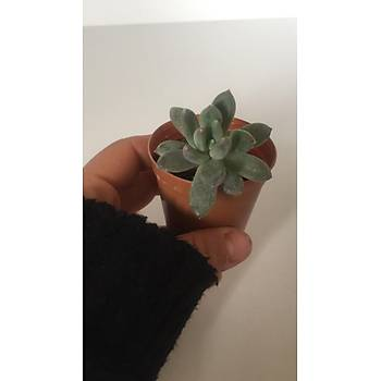 Pachyphytum hookeri