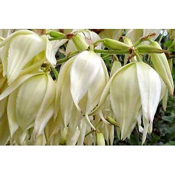 Yucca filamentosa / Avize Aðacý