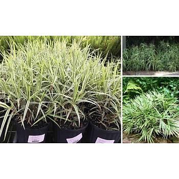 Carex phyllocephala 'Sparkler'