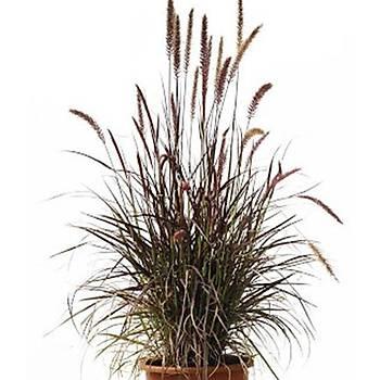 Pennisetum setaceum 'Rubrum' / Kýrmýzý Püskül Saz / 60-80 cm.
