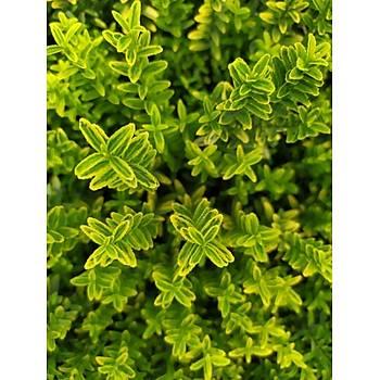 Euonymus microphyllus 'Aurea' / Altuni Çýtýr Taflan
