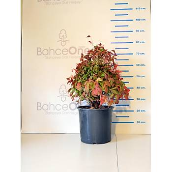 Nandina domestica 'Fire Power' / Bodur Cennet Bambusu / 30-40 cm.