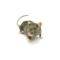 Rat's Death Ev_Fýndýk Faresi Yemleri (Rats)