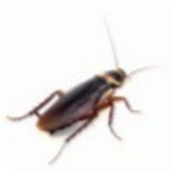 Rex Jel Hamam Böceði ve Karýnca Jel Yemi (5.gr) [Hamam Böcekleri Ve Karýncalar Ýçin pratik ve kesin çözüm]