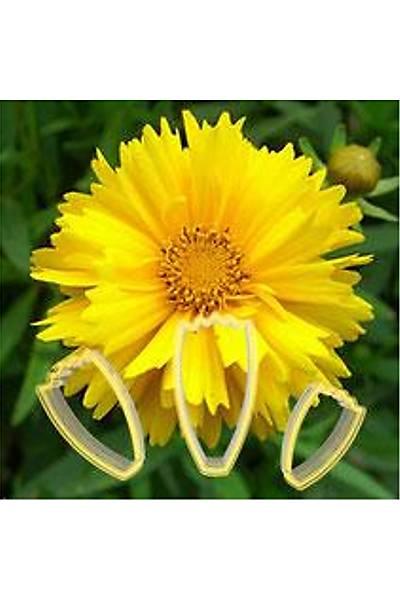 Calliopsis Çiçek Seti 3Lü